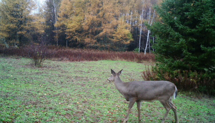 Attract Deer to your Land