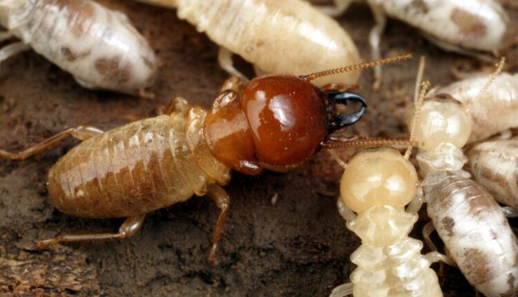 Termite Control 1
